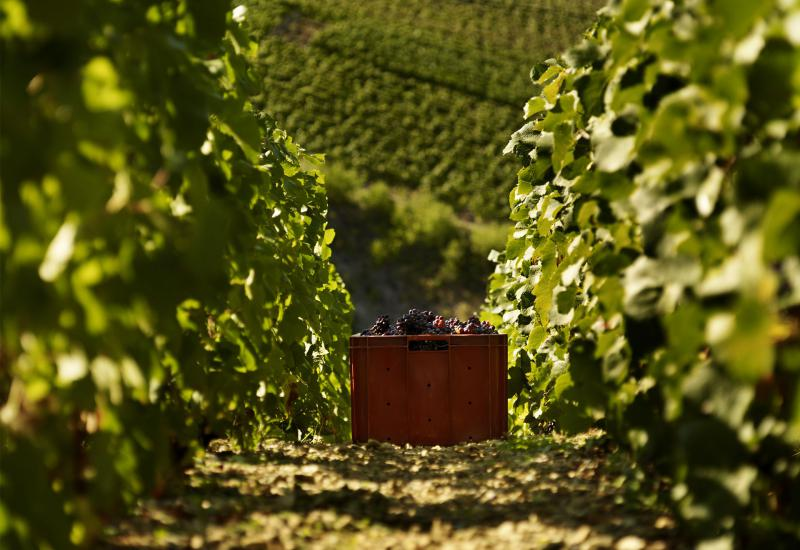 Vendanges ©DeBeauchene